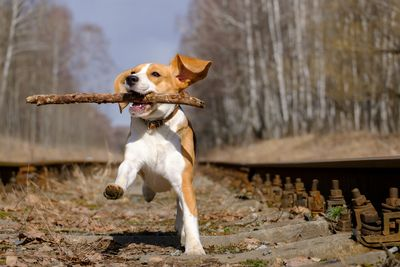 Beagle carrying a stick through the woods