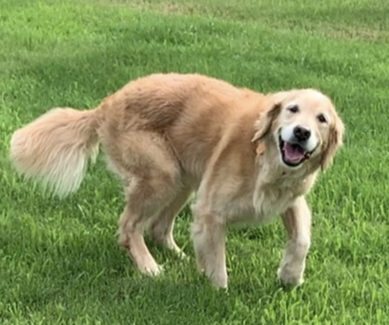 Dr. Twomey's Golden Retriever, Miley