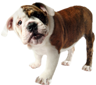 English Bulldog smiling