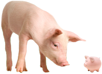 Pig looking at a piggy bank