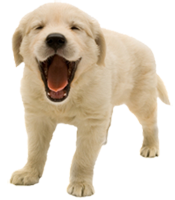 Yellow puppy yawning